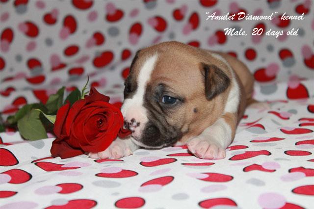 http://www.amulet-diamond.ru/image/puppy/2014_09_04/20d_persik_04.jpg