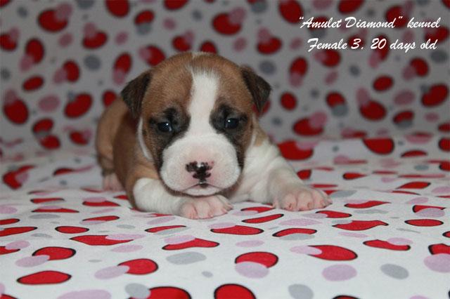 http://www.amulet-diamond.ru/image/puppy/2014_09_04/20d_polina_03.jpg