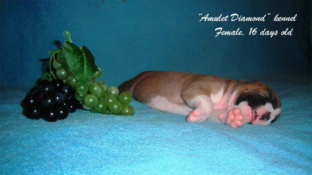 http://www.amulet-diamond.ru/image/puppy/2014_09_04/lialia_05.jpg