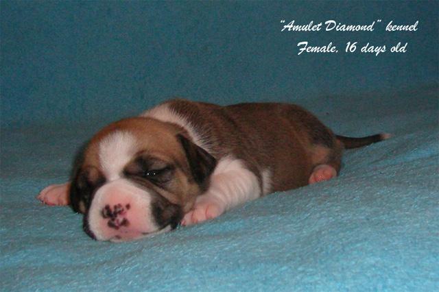 http://www.amulet-diamond.ru/image/puppy/2014_09_04/mila_02.jpg