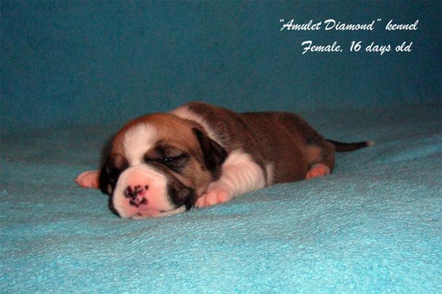 http://www.amulet-diamond.ru/image/puppy/2014_09_04/mila_03.jpg