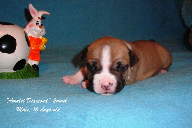 http://www.amulet-diamond.ru/image/puppy/2014_09_04/persik_01.jpg