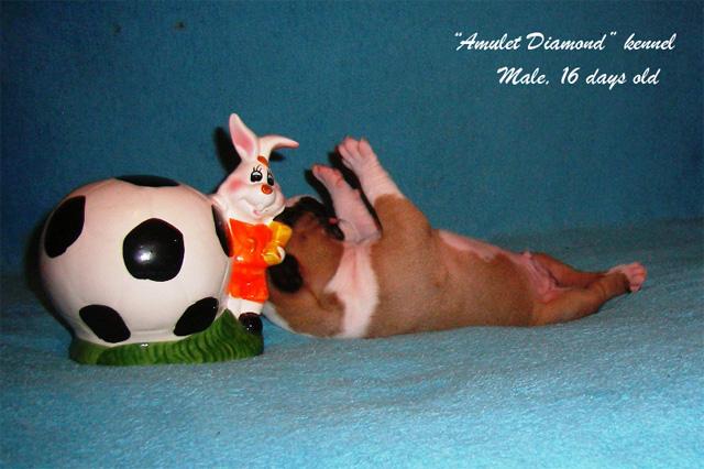 http://www.amulet-diamond.ru/image/puppy/2014_09_04/persik_02.jpg