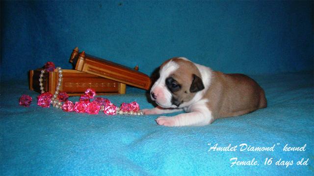 http://www.amulet-diamond.ru/image/puppy/2014_09_04/polina_01.jpg