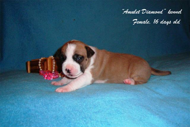 http://www.amulet-diamond.ru/image/puppy/2014_09_04/polina_04.jpg